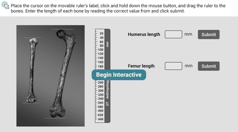 Measure the Humerus and Femur of Homo ergaster