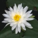 lotusUT