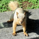 Blonde squirrel